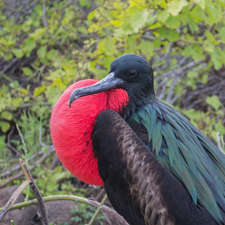 Fortunately, Irma caused little damage to the Dry Tortugas (near the Florida Keys). That's good news for the magnificent frigatebirds that nest there.