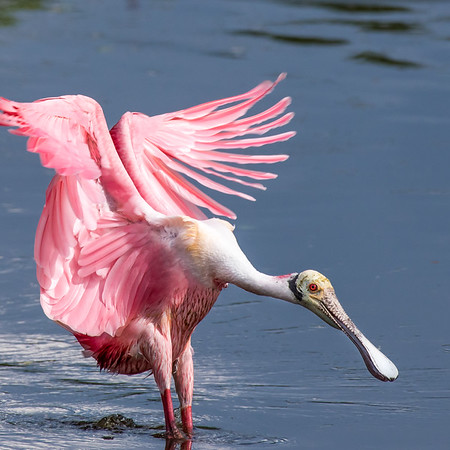A roseate spoonbill, likely dislocated by Hurricane Harvey or Irma, recently showed up in New Jersey. I'm sure that sent birders running for their binoculars!