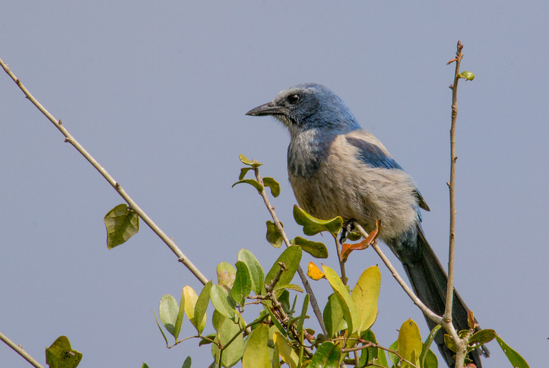 Florida scrub jays use leafy trees to hide from predators, and forage on the ground for berries, acorns, insects, and other treats. A strong hurricane could rip the leaves off the trees, and flood out their food supply. This could put further stress on their already dwindling population.