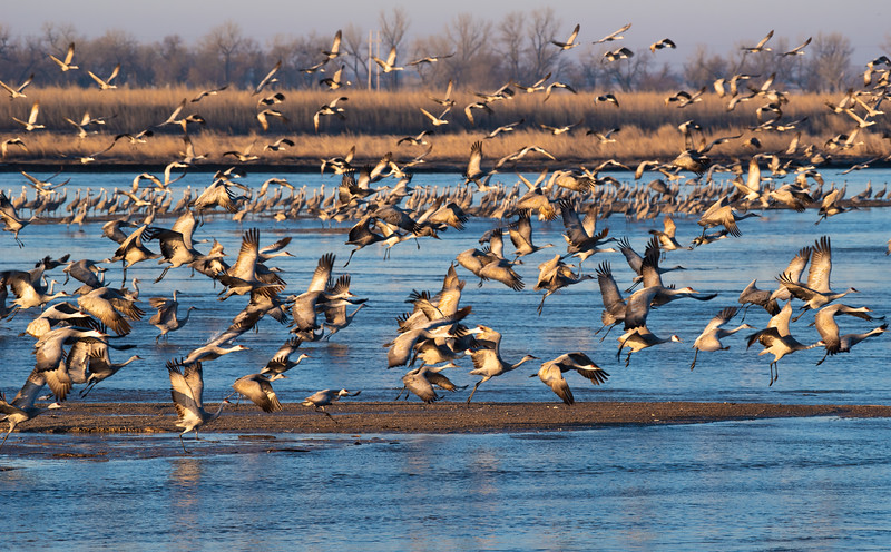 These Sandhill Cranes enjoyed a more leisurely morning, hanging around on their sandbar until well after sunrise. Hunger finally got the best of them and they're off to the corn fields for breakfast.