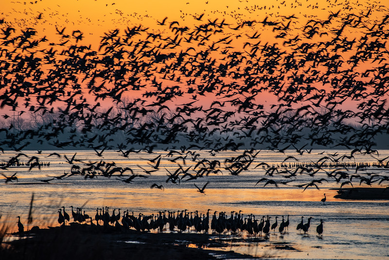 Sunrise on the Platte River. After a quick cup of coffee, thousands of Sandhill Cranes have decided to leave their roost in unison.