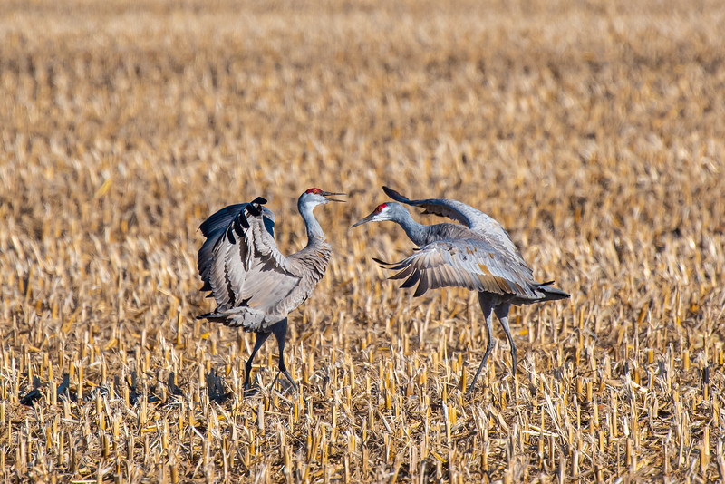 """Sandhill Cranes really know how to bust a move on the dance floor! Each move they make has meaning. These cranes are dancing to strengthen their pair bonds. Cranes also use body language to signal their intent to fly, warn others about a nearby predator, or to make a threat. You can buy a """"Sandhill Crane Display Dictionary"""" that cracks the code on each move. (Someone with a whole lot of patience developed that!)"""