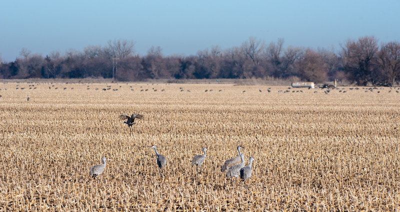 Corn was not originally on the Sandhill Cranes' list of approved foods, but they have successfully adapted to making this a big part of their diet while in Nebraska.