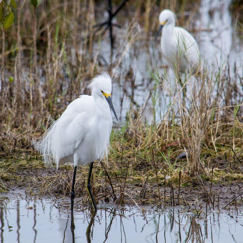 Snowy egrets hang out near shallow water, often patiently waiting for their prey to come to them.