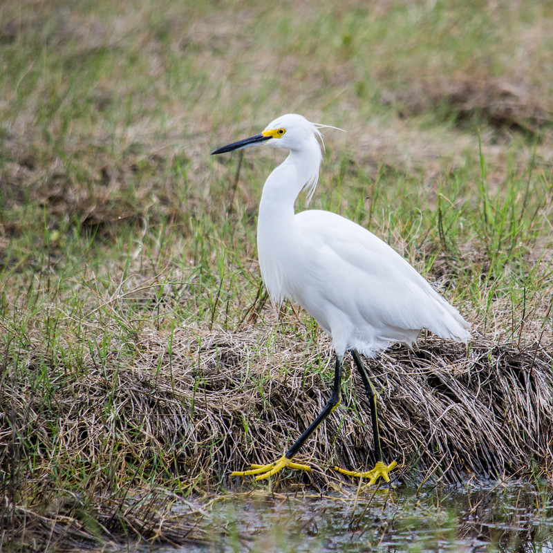 Snowy egrets can be differentiated from other similarly sized white herons by their black bills, black legs, and yellow feet.