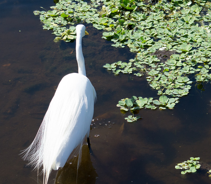 If you look closely, you will see that while this great egret watches for fish, an alligator (mostly hidden by plants) is watching the great egret.