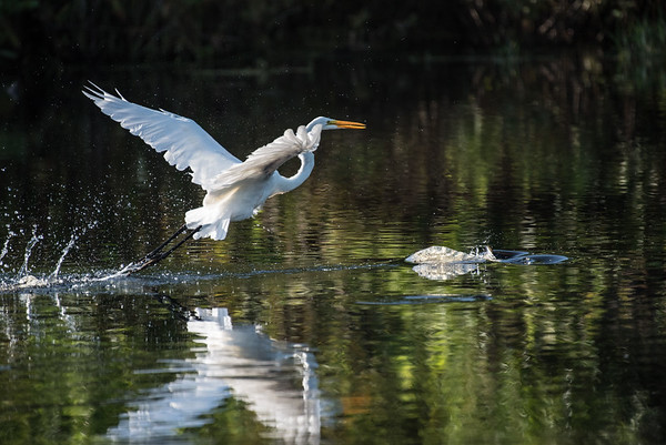 This great egret is using foot dragging to stir up fish. Notice the bump in the water ahead of the egret. That's fish!