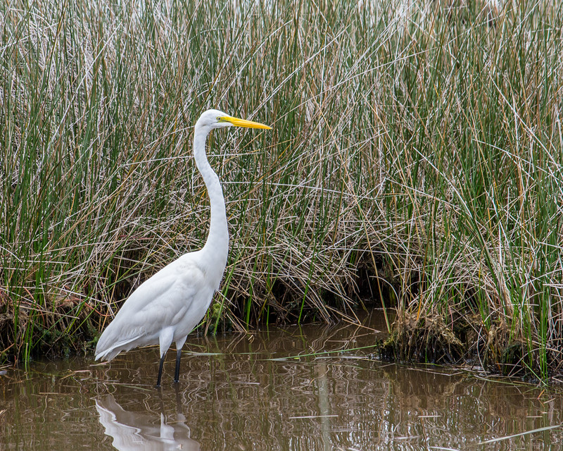 """This great egret is using the much more common feeding technique called """"stand and wait"""" (another technical term used by ornithologists). Great egrets stand about 3 feet tall, have yellow bills and black legs and feet."""