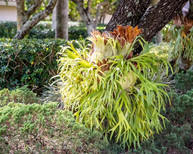 """Many epiphytes form """"traps"""" with their foliage or roots. The traps on this staghorn fern, for example, capture plant material that eventually rots to provide natural plant food. Yum."""