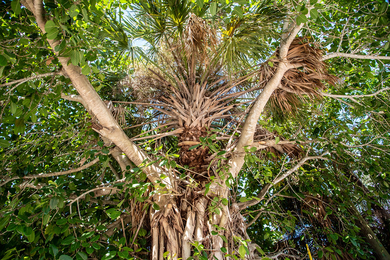 Here you can see how the strangler fig has completely enveloped a palm tree. The palm is hanging in there - but barely.