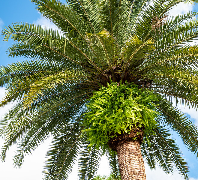 The ferns growing on this palm tree weren't put there by humans. They showed up all by themselves thanks to spores that blew in on the wind. That's like getting a free wardrobe!