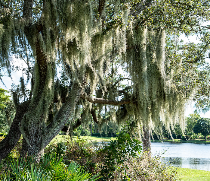 Spanish moss (Tillandsia usneoides) is graceful by day, but can be a little creepy at night - especially in cemeteries. It has been used for many purposes, including building insulation, packing material, and stuffing for mattresses and car seats. In the early 1900s, Ford used Spanish moss to stuff the seats in its Model Ts, finding out the hard way that it can harbor chiggers. That left Model T owners scratching their behinds, and supposedly spurred the first automotive recall.