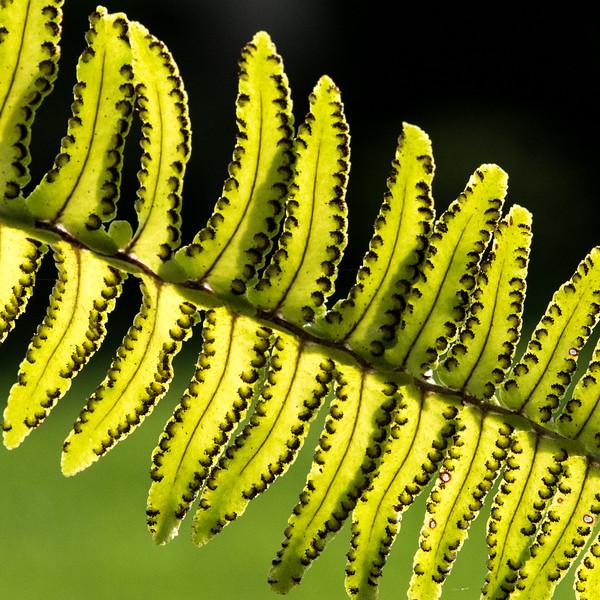 Close-up of spores on a fern leaf.