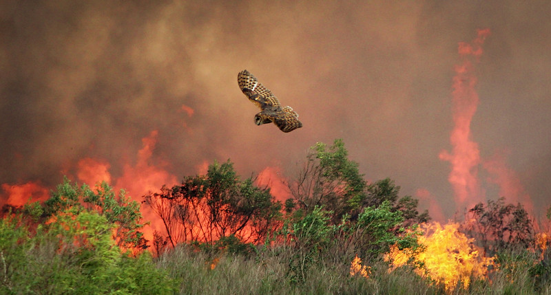 Images 1 and 2 are of a barn owl hunting in front of the fire front of a prescribed burn on a coastal prarie restoration burn near Burgentine Lake on the Aransas NWR, Texas.