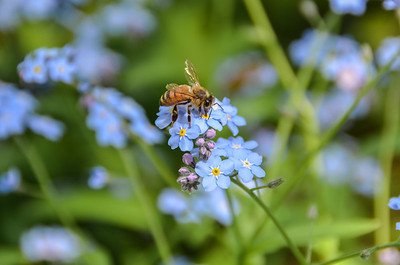 Bumble in Forget-me-nots