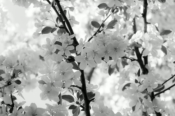 Apple blossoms in black and white