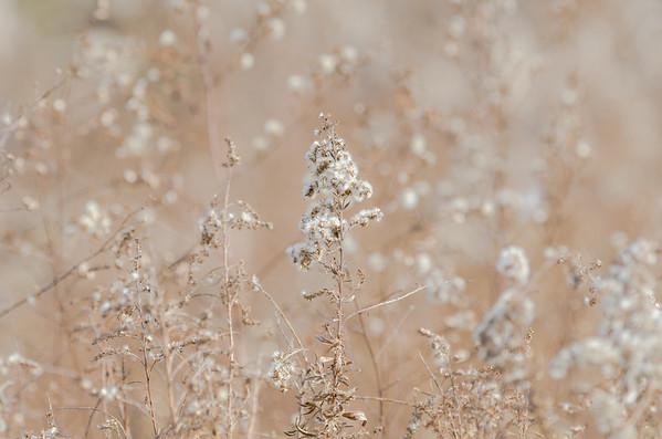 seedhead snow