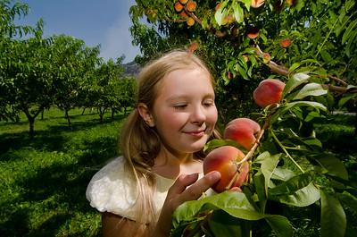 Picking peaches 33, Harker's Organics, Cawston, Similkameen, summer, activities, Darren Robinson