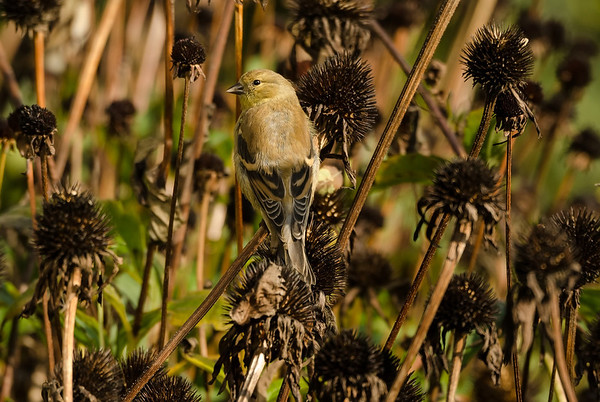 Goldfinch in coneflowers...