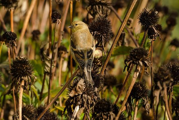 Goldfinch in coneflowers...