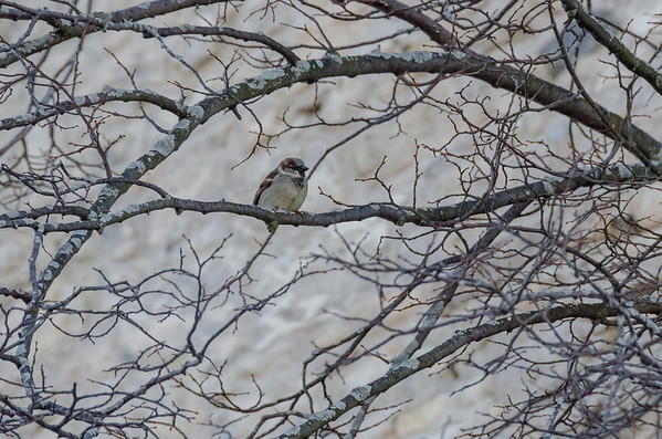 Sparrow huddled on winter branches...