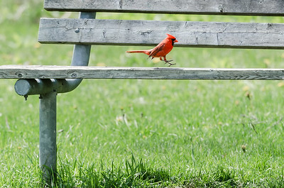 Cardinal hopping for joy