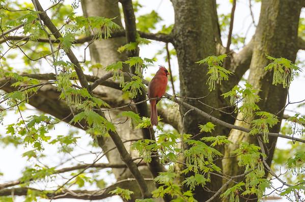Cardinal in spring...