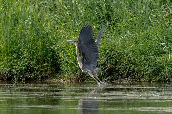 Great Blue Heron takes flight...