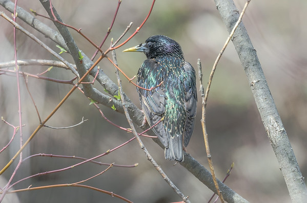 Starling in spring branches
