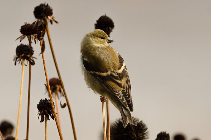 Autumn Goldfinch
