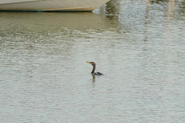 Cormorant cruising the marina...