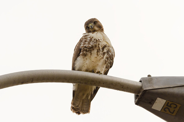 A Red-tailed Hawk checks out the photographer...