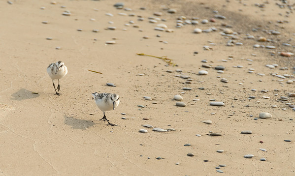 Sanderlings on the beach...
