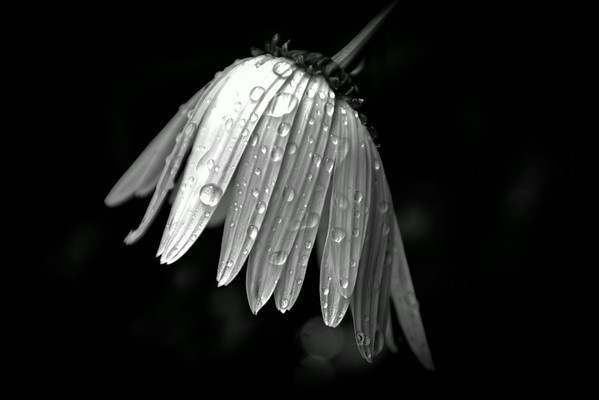 raindrops on daisy in black and white