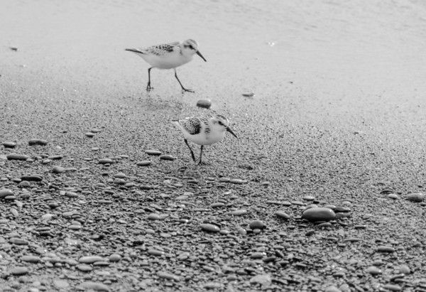 Sanderlings in black and white...