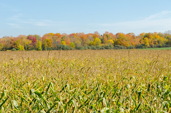 corn and autumn woods