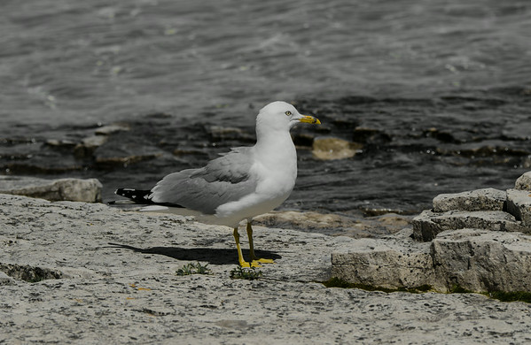 Gull on the rocks