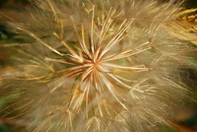 Intimate close-up of dandilion near Jasper, Alberta, Canada.
