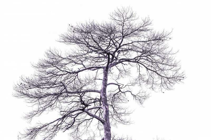 dying tree
