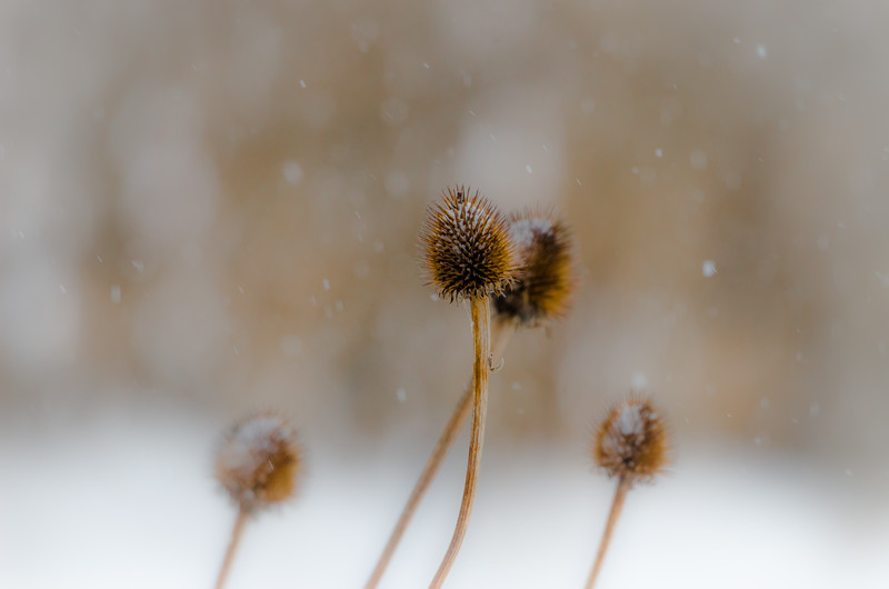 Snow on coneflowers