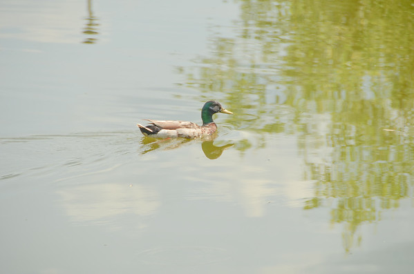 Mallard on the pond