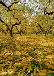 Orchard, Summerland, BC