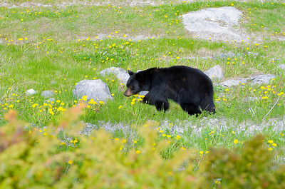 Bear, Jasper National Park, AB