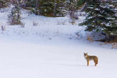 Coyote, Jasper National Park, AB