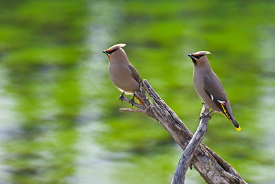 Waxwings, Jasper National Park, AB