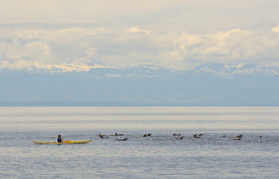 Dolphins, Powell River, BC