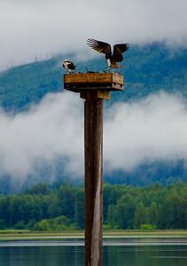 Osprey, Shuswap Lake, Salmon Arm, Shuswap, spring, wildlife, Darren Robinson