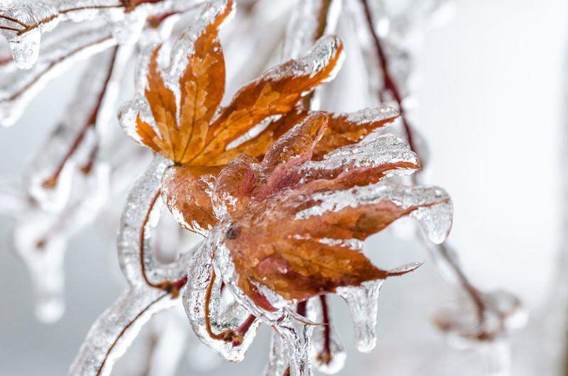 Maple ice