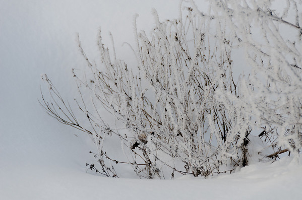 snow shrub