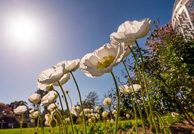 Allen_G9_Floral_PoppiesUp P1141669